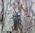 Усач большой дубовый Cerambyx cerdo Great capricorn beetle Голям сечко Großer Eichenbock (29939326708).jpg