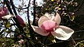 Цвітіння рожевої магнолії 2.jpg