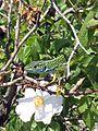 Ящірка зелена1.jpg