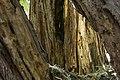 داخل درخت گردو - juglans 10.jpg