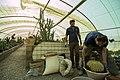 عکس از نحوه تعویض گلدان و خاک کاکتوس در گلخانه - مکان گلخانه دنیای خار در روستای مبارک آباد قم 07.jpg