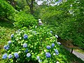 七曲りのあじさい 吉野山にて Hydrangea in Yoshino-yama 2013.6.17 - panoramio.jpg