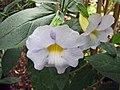 假立鶴花 Thunbergia natalensis -比利時國家植物園 Belgium National Botanic Garden- (9198098711).jpg