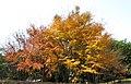南山植物园-枫树 - panoramio.jpg