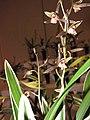 報歲招財進寶 Cymbidium sinense 'Inviting Wealth & Treasure' -香港沙田國蘭展 Shatin Orchid Show, Hong Kong- (12221134953).jpg