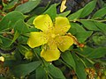 方莖金絲桃 Hypericum subalatum -台北植物園 Taipei Botanical Garden- (34926870523).jpg