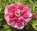 日本牡丹-長壽樂 Paeonia suffruticosa Chojuraku -洛陽神州牡丹園 Luoyang, China- (12537609934).jpg