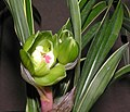 春蘭綠雲 Cymbidium goeringii 'Green Cloud' -香港沙田國蘭展 Shatin Orchid Show, Hong Kong- (12316680675).jpg