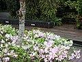 杜鵑 Azalea - panoramio.jpg