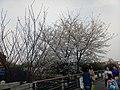 漕宝路七号桥头的樱花树 7.jpg