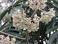 秋海棠屬 Begonia luxurians -英格蘭 Wisley Gardens, England- (9226997699).jpg