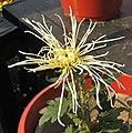 菊花-唐宇白桂 Chrysanthemum morifolium -中山小欖菊花會 Xiaolan Chrysanthemum Show, China- (11962012646).jpg