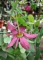 西番蓮屬 Passiflora perfoliata -日本大阪鮮花競放館 Osaka Sakuya Konohana Kan, Japan- (41226437915).jpg