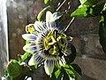 -2019-08-23 Passionflower (Passiflora incarnata), Trimingham.JPG
