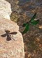 020170910 Schatten der Libellenflügel.jpg