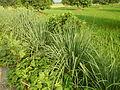 0369jfPulilan Balatong Manggo Fields grass Bulacanfvf 43.JPG