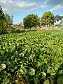 04506jfDomesticated Water Hyacinth Pescadores Poblacion Candaba Pampangafvf 06.JPG