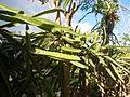 0638jfPaddy fields Pitaya Ilog-Bulo San Miguel Bulacan Farm Market Roadfvf 08.jpg