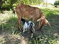 06648jfAnao Roads Goats Bridge Creeks Pance Ramos Tarlacfvf 03.JPG