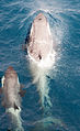 091201 south georgia orca 5294 (4173391544).jpg