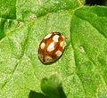 10-spot Ladybird. Adalia 10-punctata - Flickr - gailhampshire.jpg