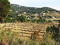 135 Vinyes al camí del Greny (Alella), al fons la vall de la riera de Coma Clara.JPG