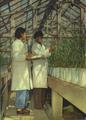 1952-05 华北农业科学研究所 研究新型小麦.png