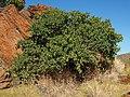 1Terminalia hadleyana subsp. carpentariae plant.jpg