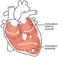 2006 Heart Musculature gl.jpg