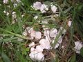 2007-09-18 Termitomyces microcarpus (Berk. & Broome) R. Heim 6372.jpg
