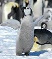 2007 Snow-Hill-Island Luyten-De-Hauwere-Emperor-Penguin-100.jpg