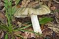 2010-09-06 Russula heterophylla (Fr.) Fr 105686.jpg