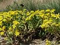 20120609Wiesenblumen Reilingen6.jpg