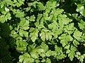 20120701Chaerophyllum temulum3.jpg