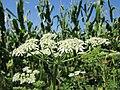 20120813Heracleum sphondylium1.jpg