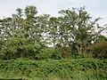 20120921Robinia pseudoacacia1.jpg