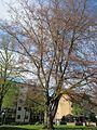 20130423Buche Wasserturm Hockenheim.jpg
