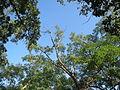 20130924Robinia pseudoacacia.jpg