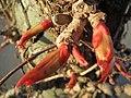 20140320Parthenocissus quinquefolia5.jpg