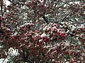 2015-04-08 07 37 59 A wet spring snow on Crabapple blossoms along Carlin Court in Elko, Nevada.jpg