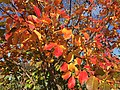 2015-11-08 09 37 47 Crape Myrtle foliage during autumn along Old Ox Road (Virginia Secondary State Route 606) in Sterling, Virginia.jpg