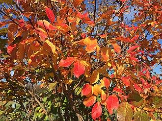 Lagerstroemia indica - Autumn foliage