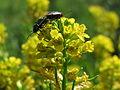 20150510Barbarea vulgaris2.jpg