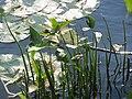 20150910Sagittaria sagittifolia3.jpg