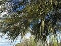 2016-03-22 17 22 03 Southern Live Oak draped with Spanish Moss along Henderson Levee Road in Saint Martin Parish, Louisiana.jpg