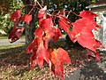 2016-10-31 13 26 38 Red Red Maple foliage at the end of October on Tranquility Lane in the Franklin Farm section of Oak Hill, Fairfax County, Virginia.jpg