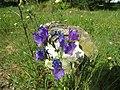 2017-04-02 Purple viper's bugloss (Echium plantagineum), Vale de Carro, Albufeira.JPG