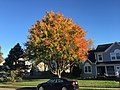 2017-11-10 15 40 22 Red Maple during late autumn along Lady Bank Lane in the Chantilly Highlands section of Oak Hill, Fairfax County, Virginia.jpg