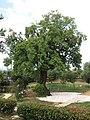 20180517 Almond tree in Kallithea of Kalamata.jpg