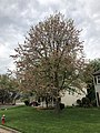 2019-04-25 10 19 10 A Red Maple heavily laden with mature seeds along White Barn Lane in the Franklin Farm section of Oak Hill, Fairfax County, Virginia.jpg
